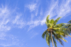 Single palm tree on tropical island. Bright blue sky background. Summer vacation banner template. Fluffy palm tree with green leaves. Coconut palm under Royalty Free Stock Image