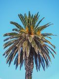 Single palm tree. View of it's top Royalty Free Stock Photos