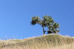 Single Pandanus Tree on hill with blue sky Royalty Free Stock Photography