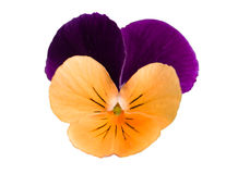 Single pansy. Single flower of pansies close up view. Isolated on a white background Stock Images