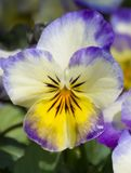 Single Pansy flower close-up Royalty Free Stock Photos