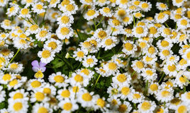 Single pansy flower among flowers pharmaceutical chamomile Royalty Free Stock Photos