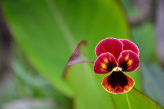 Single pansy flower Royalty Free Stock Photography