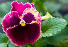 Single pansy flower with leaves Stock Image