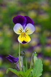 Single pansy flower Stock Photos