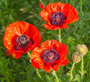 Single Papaver orientale (Oriental poppy) is a perennial floweri Royalty Free Stock Image