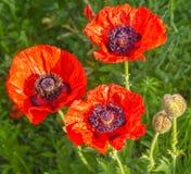 Single Papaver orientale (Oriental poppy) is a perennial floweri Royalty Free Stock Image
