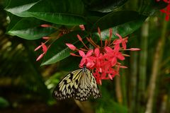 Single Paper Kite Idea leuconoe butterfly up close sitting on a pink flower with green leaf background. Stock Photo