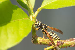 Single paper wasp sits on branch with green leaves Stock Images