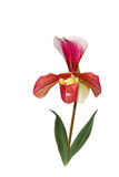 Single paphiopedilum Orchid Royalty Free Stock Photo