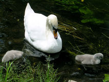Single Parent Swan and Babies Stock Photos