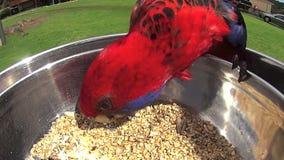 Single Parrot Feeding stock video footage