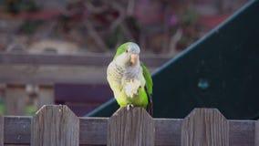 Single parrot Monk Parakeets Myiopsitta monachus eating bread stock video footage