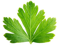Single parsley herb (coriander) leaf isolated on white. Background with clipping path Royalty Free Stock Photos