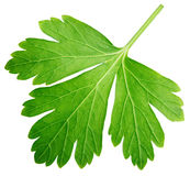 Single parsley herb coriander leaf isolated on white. Background with clipping path Royalty Free Stock Images