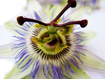 Single passiflora flower Stock Photography