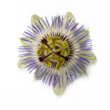 Single Passion Flower. Close-up of Passion Flower royalty free stock photography