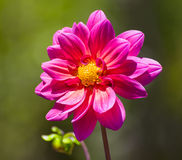 Single Pastel Colored Dahlla Close-up Stock Photos