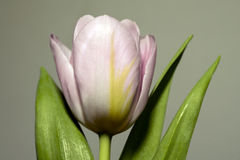 Single pastel pink tulip flower Stock Photography