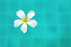 Single Peaceful Plumeria Flower Floating on Clear Rippling Water.  stock images