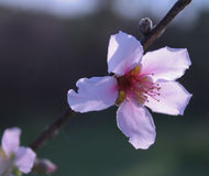Single Peach Blossom. A beautiful single pink peach blossom on a peach tree branch outdoors Stock Photography