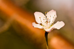 A Single Peach Flower with Shadow Below Royalty Free Stock Image