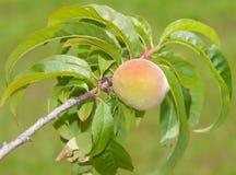 Single peach ripening in a small tree Royalty Free Stock Photos