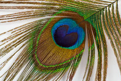 Single peacock feather Stock Photography