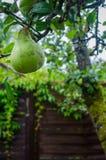Single pear fruit on a branch. In a garden Stock Photos