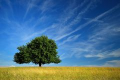 Single pear tree. Single summer green pear tree on meadow. Blue sky and gold grass field Stock Image