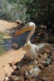 Single pelican Royalty Free Stock Photos