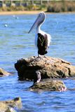 Single Pelican Stock Images