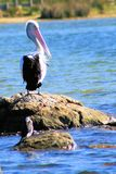 Single Pelican Royalty Free Stock Photography