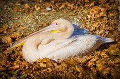 Single Pelican in Autumn Leaves Stock Photos