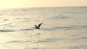 Single Pelican Bird Flying Over the Ocean in Slow Motion Royalty Free Stock Image