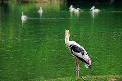 single of pelican catch fish from lake river. Pelican bird wallpaper , animal wildlife background stock photos