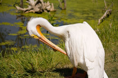 Single Pelican on the Shore. Single White Pelican on the Shore of the Lake Royalty Free Stock Photos