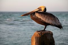 Single Pelican on Wood Post Stock Photo