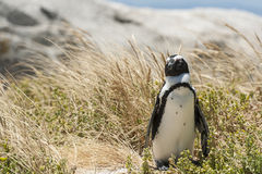 Single penguin in the grass Stock Photo