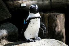 Single penguin in zoo Royalty Free Stock Photo