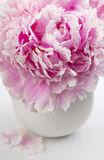 Single peony flower and petals Royalty Free Stock Photo