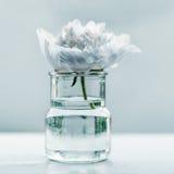 Single peony flower Stock Image