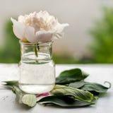 Single peony flower Stock Images