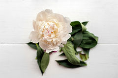 Single peony flower Royalty Free Stock Image