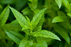 Single Peppermint Plant Stock Photos