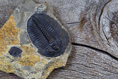 Single perfect fossilized trilobite in close up view Royalty Free Stock Photo