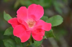 Single petal rose Stock Images