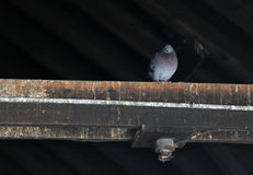 Single Pidgeon on a Rafter. Lonely pidgeon sits in the dark barn on a rafter. Very old abandoned building and rafters Royalty Free Stock Images