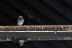 Single Pidgeon on a Rafters. Lonely pidgeon sits in the dark barn on a rafter. Very old abandoned building and rafters Royalty Free Stock Image