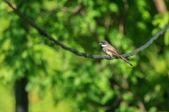 A single Pied Fantail holding on the curve stick Royalty Free Stock Photo